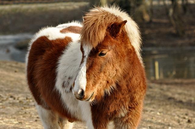 Un petit cheval pour remplacer le chien guide